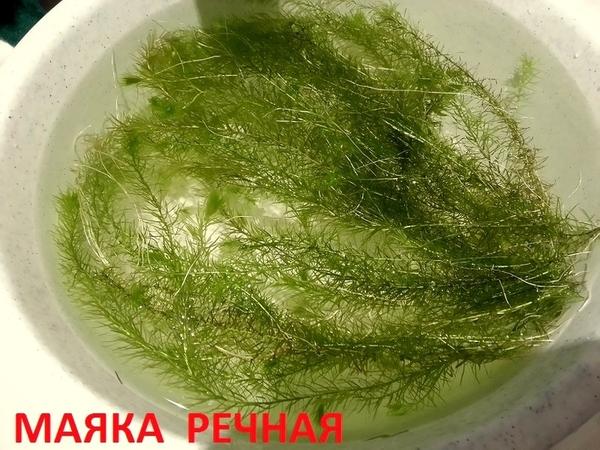 Роголистник -- аквариумное растение,   много разных растений 3
