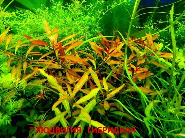 Роголистник -- аквариумное растение,   много разных растений 12