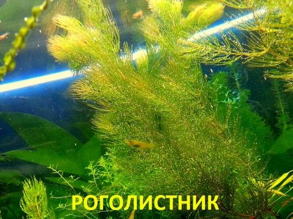 Роголистник -- аквариумное растение,   много разных растений 13