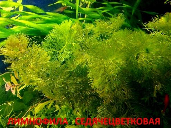 Роголистник -- аквариумное растение,   много разных растений 16