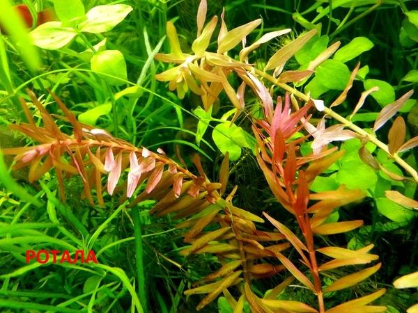 Ротала ----- аквариумные растения и много других аквариумных растений 4