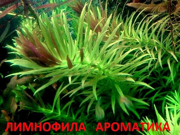 Лимнофила ароматика ---- аквариумные растения,  много других растений.. 2