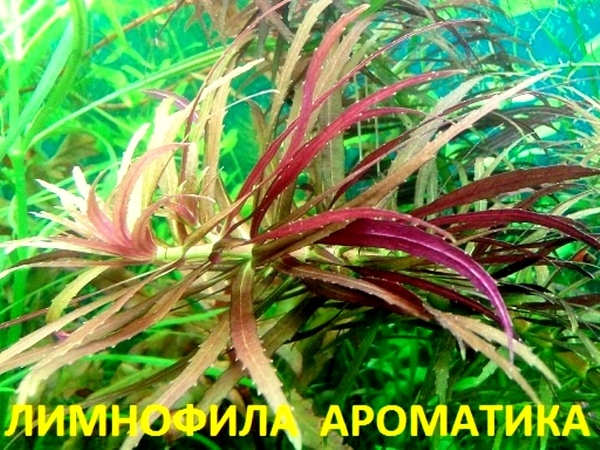 Лимнофила ароматика ---- аквариумные растения,  много других растений.. 3