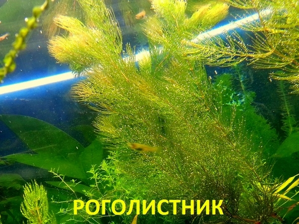 Лимнофила ароматика ---- аквариумные растения,  много других растений.. 18