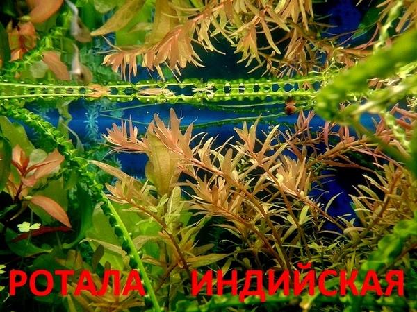 Бакопа австролийская --- аквариумное растение и много других ...  5
