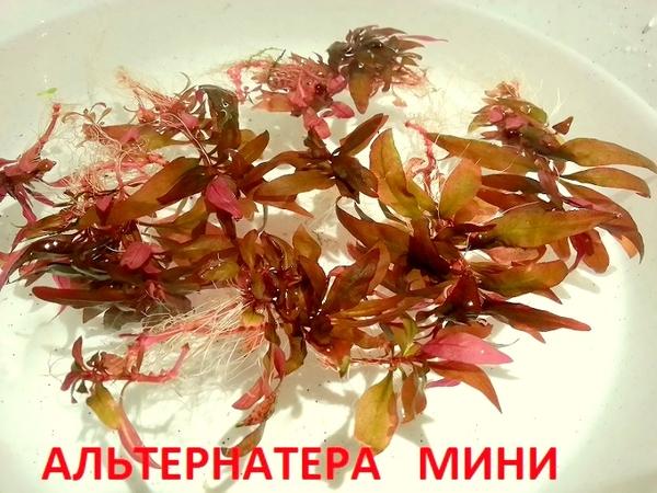 Бакопа австролийская --- аквариумное растение и много других ...  7
