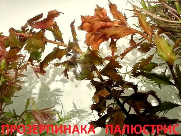 Бакопа австролийская --- аквариумное растение и много других ...  17