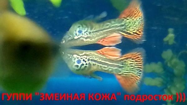 Змеиная кожа --- гуппи --- чистая линия. - Рыбки аквариумные 5