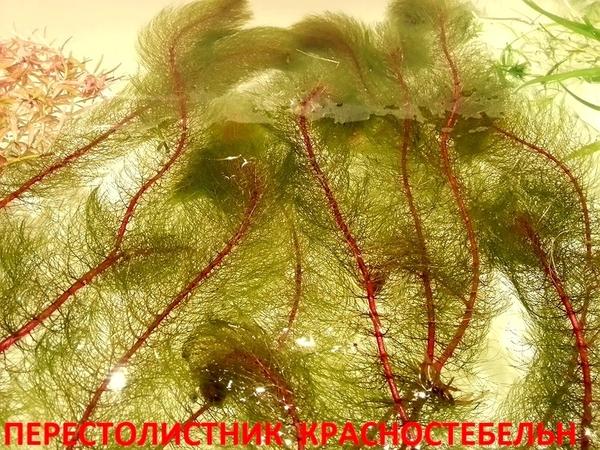 Перестолистник красностебельный - аквариумные растения и другие...