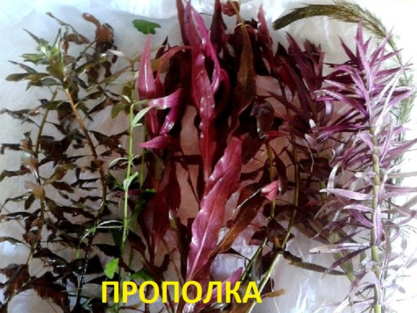 Соберу набор из неприхотливых аквариумных растений для запуска акваса