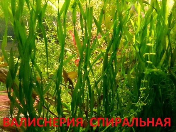 Соберу набор из неприхотливых аквариумных растений для запуска акваса 13