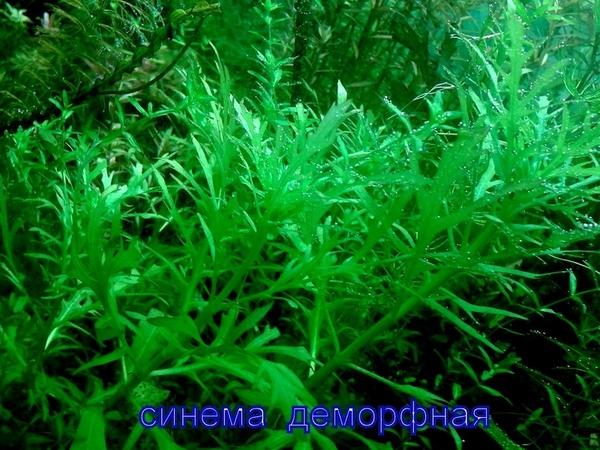 Дубок мексиканский -- - аквариумные растения и разные растения 3