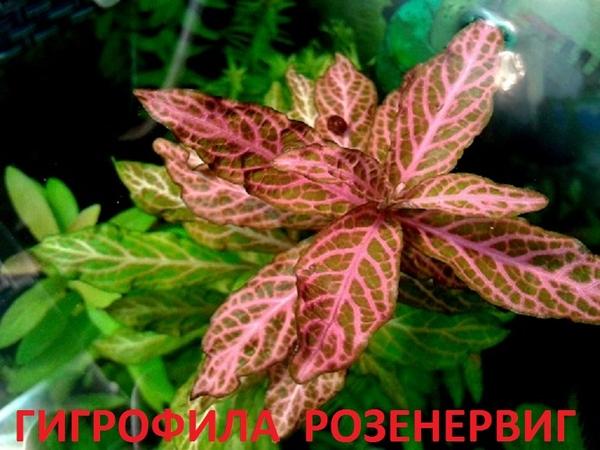 Дубок мексиканский -- - аквариумные растения и разные растения 6
