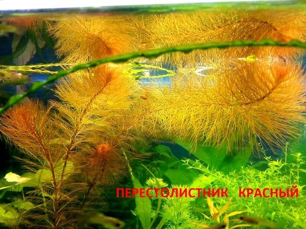 Дубок мексиканский -- - аквариумные растения и разные растения 7
