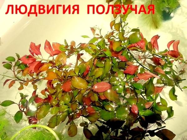 Людвигия ползучая и др. растен. НАБОРЫ растений для запуска. ПОЧТОЙ