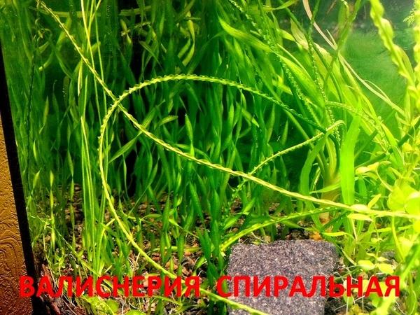 Валиснерия спиральная -НАБОРЫ растений для запуска. ПОЧТОЙ и МАРШР