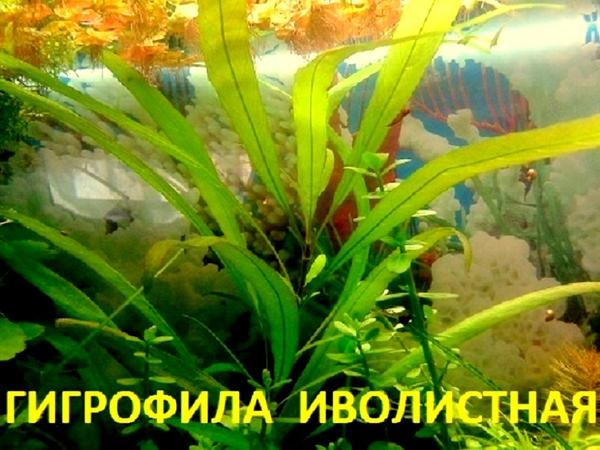 Гигрофила иволистная -- аквариумное растение и другие растения.