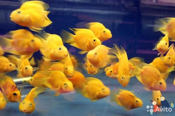Цихлида попугай малиновый + 1 рыбка в подарок )  2