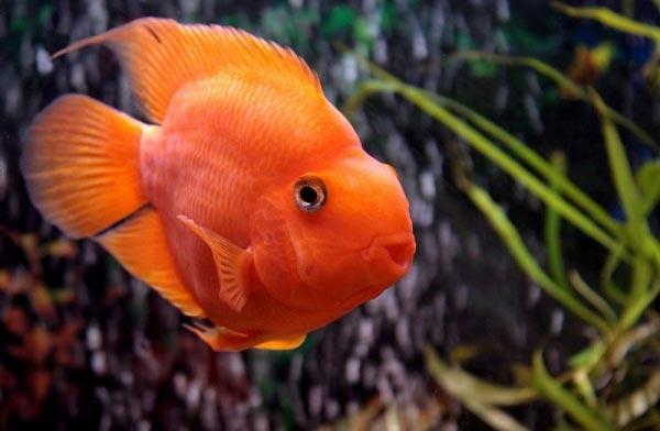 Цихлида попугай малиновый + 1 рыбка в подарок )  3