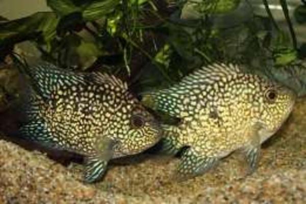 Цихлида попугай малиновый + 1 рыбка в подарок )  4