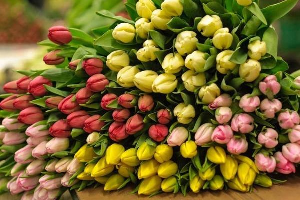 Тюльпаны выгодно оптом в Минске 2
