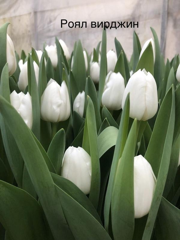 Цветы.Тюльпаны. Оптом. 3