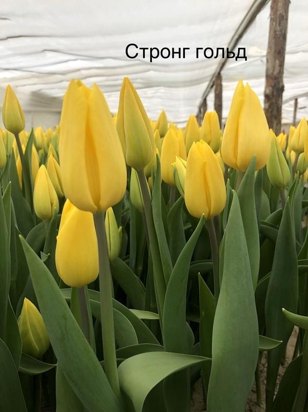 Цветы.Тюльпаны. Оптом. 6