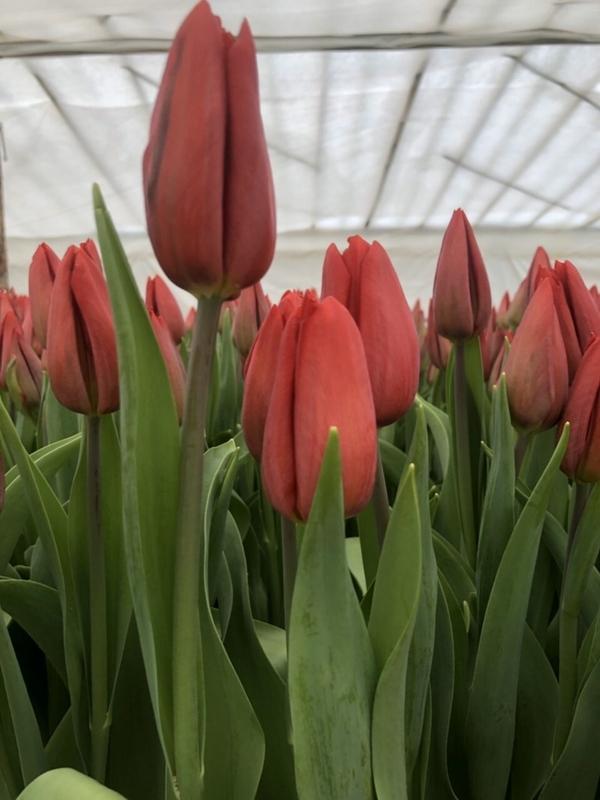 Свежие цветы оптом к 8 марта в Минске 4