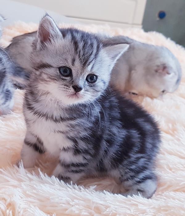 Вислоухие и прямоухие шотландские котята. 4