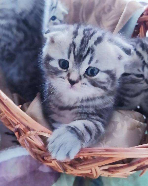 Вислоухие и прямоухие шотландские котята. 3