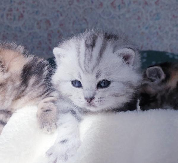 Вислоухие и прямоухие шотландские котята. 2