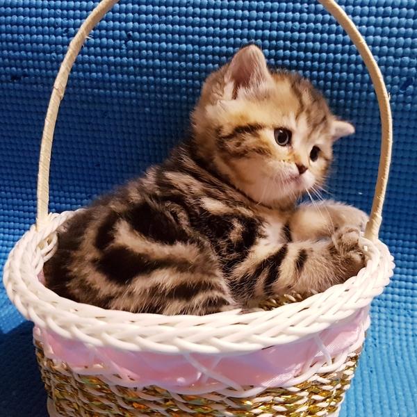 Шотландские котята редкого окраса. 6