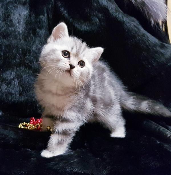 Шотландские котята редкого окраса. 4