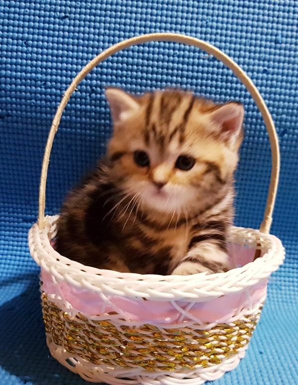 Шотландские котята редкого окраса. 2