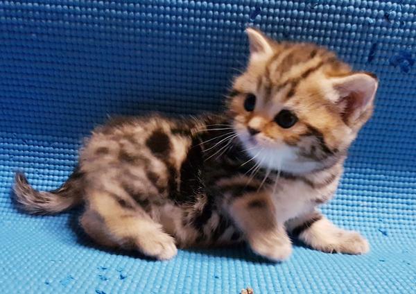 Шотландские котята редкого окраса. 7