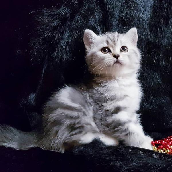 Шотландские котята редкого окраса. 3