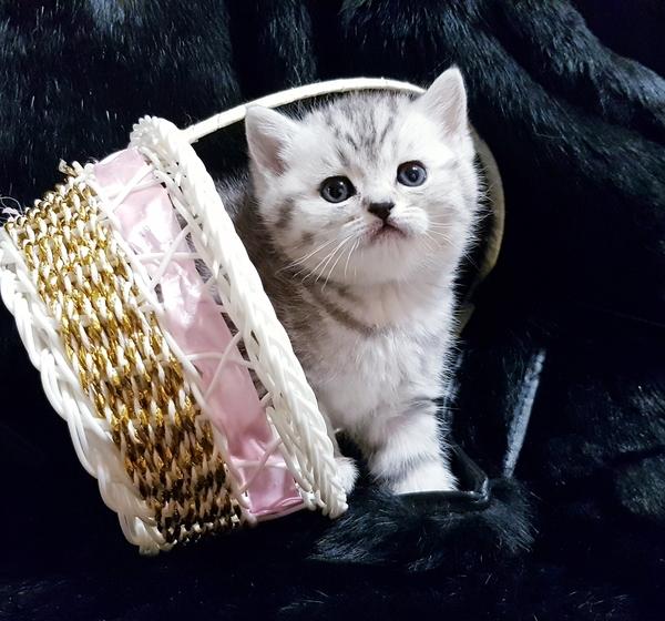 Шотландские котята с документами. 6