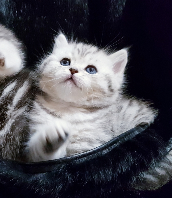 Шотландские котята с документами. 3