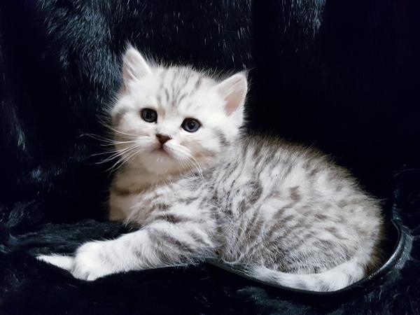 Шотландские котята с документами. 2
