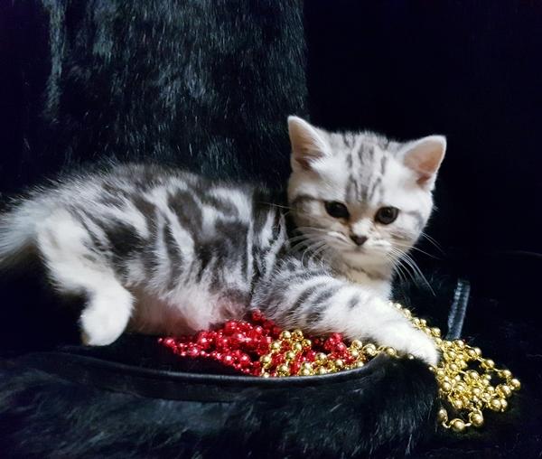 Шотландские котята с документами. 7