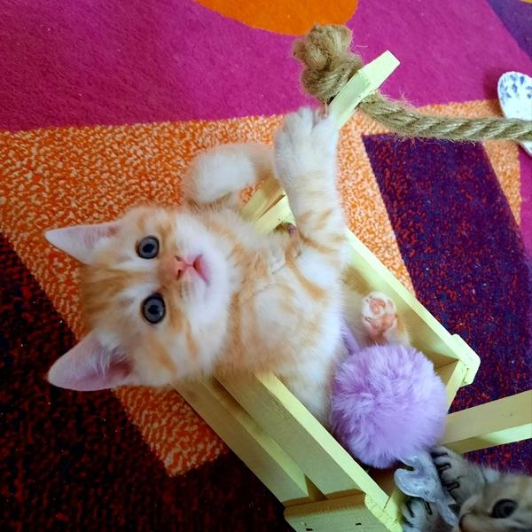 Солнечные котики./шотландские коты. 4