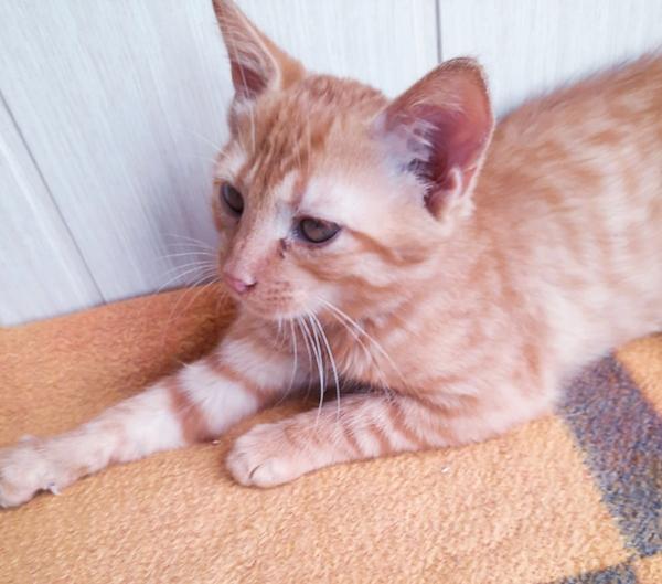Домашние ручные котята в дар. 4