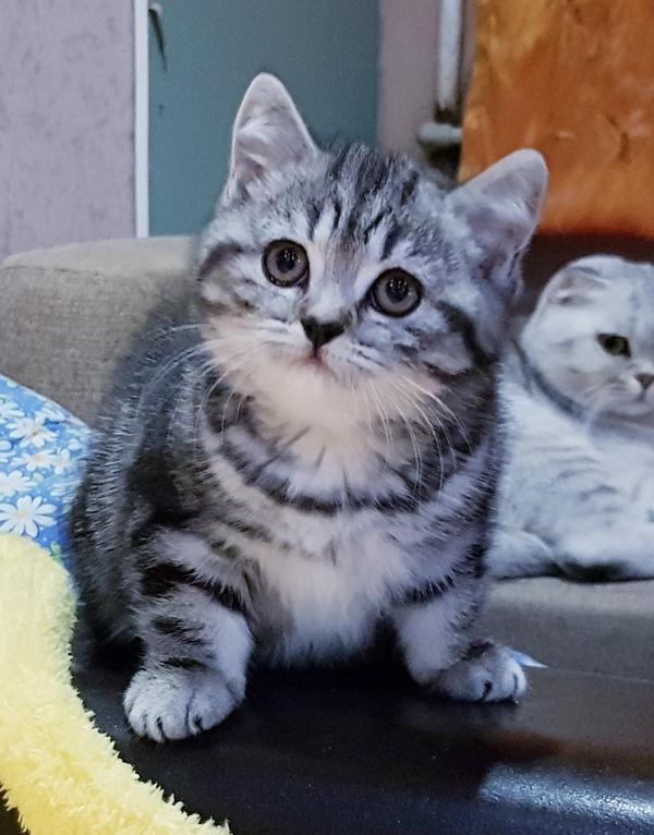 Котятки мраморятки, шотландские котята скоттиш-страйт. 5