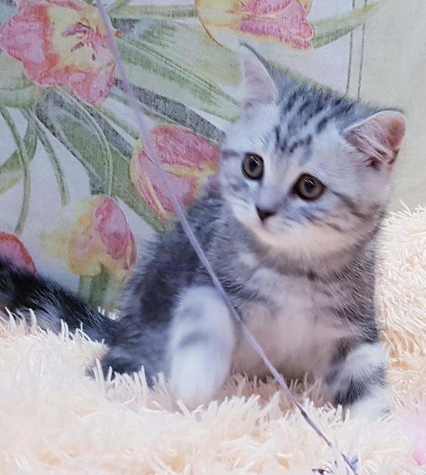 Котятки мраморятки, шотландские котята скоттиш-страйт. 7