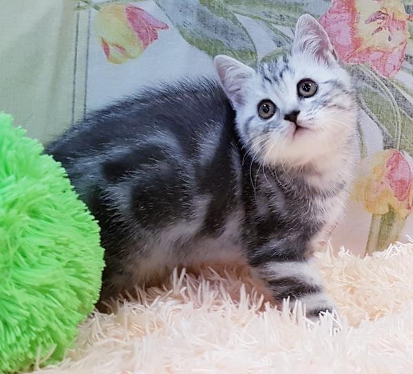 Котятки мраморятки, шотландские котята скоттиш-страйт. 6