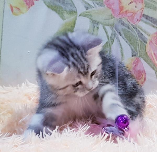 Котятки мраморятки, шотландские котята скоттиш-страйт. 8