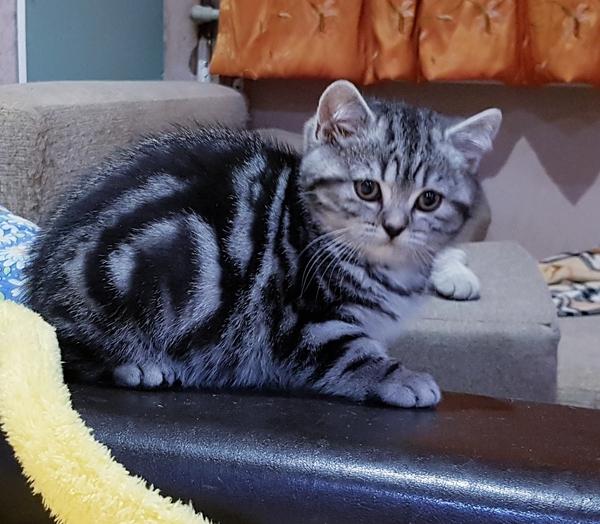 Котятки мраморятки, шотландские котята скоттиш-страйт. 3