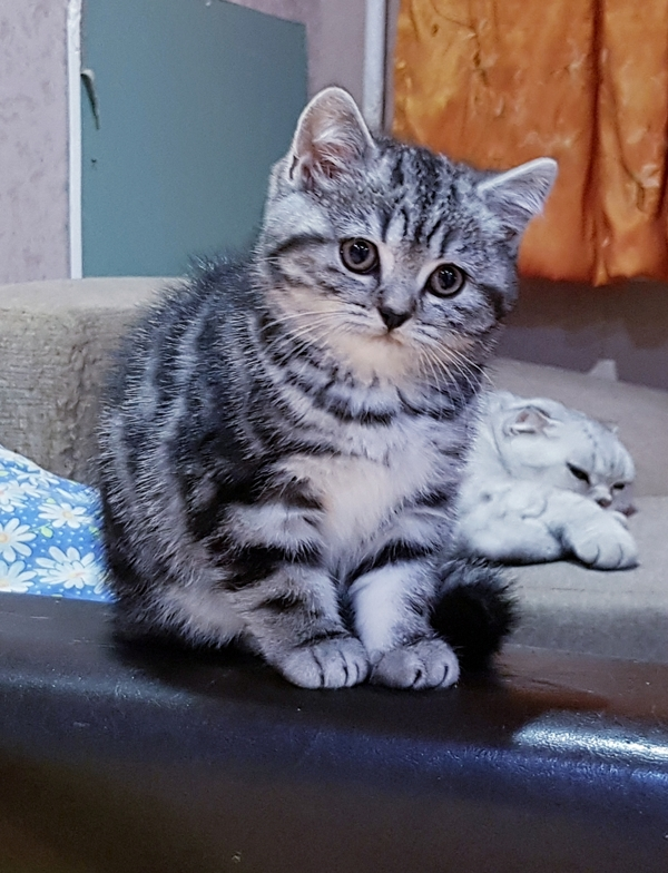 Котятки мраморятки, шотландские котята скоттиш-страйт. 2