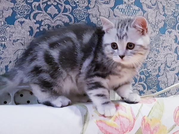 Котятки мраморятки, шотландские котята скоттиш-страйт.