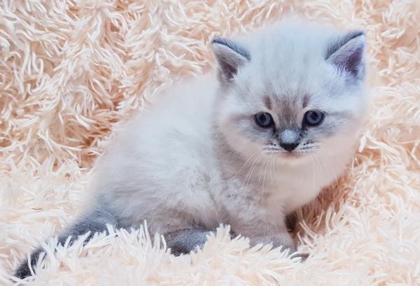 Котята,  редких окрасов, шотландские 2
